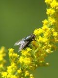 Λίγη μύγα Στοκ Εικόνες
