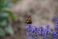 Λίγη πεταλούδα αλεπούδων Στοκ Εικόνες