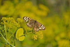 Λίγη πεταλούδα που πετά πέρα από τους τομείς χλόης Στοκ φωτογραφία με δικαίωμα ελεύθερης χρήσης
