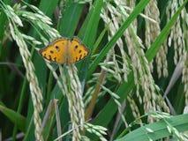 Λίγη πεταλούδα σε ένα πορτοκαλιού και πράσινου ταίριασμα τομέων ρυζιού, καλά στοκ φωτογραφίες