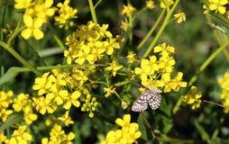 Λίγη πεταλούδα στα κίτρινα λουλούδια Στοκ εικόνες με δικαίωμα ελεύθερης χρήσης