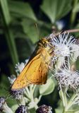 Λίγη πεταλούδα στην πικραλίδα Στοκ Εικόνες