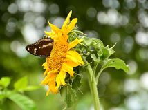 Λίγη πεταλούδα απορροφούν το νέκταρ από τους ηλίανθους Στοκ Φωτογραφίες