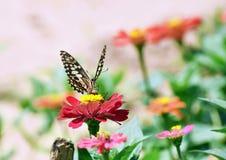 Λίγη πεταλούδα βρίσκει τα τρόφιμα στο κόκκινο λουλούδι Στοκ εικόνα με δικαίωμα ελεύθερης χρήσης