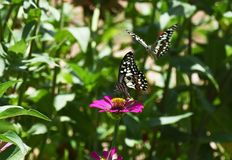 Λίγη πεταλούδα βρίσκει τα τρόφιμα στο λουλούδι το πρωί Στοκ Φωτογραφία