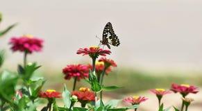 Λίγη πεταλούδα βρίσκει τα τρόφιμα στο λουλούδι το πρωί Στοκ φωτογραφία με δικαίωμα ελεύθερης χρήσης
