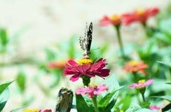 Λίγη πεταλούδα βρίσκει τα τρόφιμα στο λουλούδι Στοκ Εικόνες