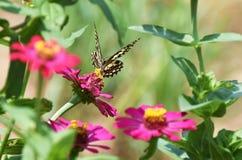 Λίγη πεταλούδα βρίσκει τα τρόφιμα στο λουλούδι Στοκ φωτογραφία με δικαίωμα ελεύθερης χρήσης