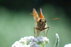 Λίγη πεταλούδα σε ένα λουλούδι, μακροεντολή Στοκ εικόνα με δικαίωμα ελεύθερης χρήσης