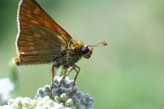 Λίγη πεταλούδα σε ένα λουλούδι, μακροεντολή Στοκ φωτογραφία με δικαίωμα ελεύθερης χρήσης