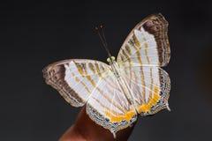 Λίγη πεταλούδα Cyrestis χαρτών themire Στοκ εικόνα με δικαίωμα ελεύθερης χρήσης