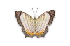 Λίγη πεταλούδα Cyrestis χαρτών themire Στοκ Εικόνες