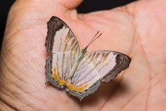 Λίγη πεταλούδα Cyrestis χαρτών themire Στοκ φωτογραφία με δικαίωμα ελεύθερης χρήσης