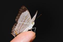 Λίγη πεταλούδα Cyrestis χαρτών themire Στοκ Φωτογραφία