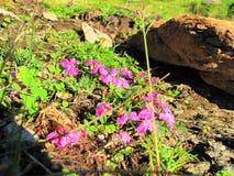 Λίγη πορφύρα ιώδης αυξήθηκε ροδανιλίνης λουλούδια σε Fagaras, Transsylvania, Ρουμανία στοκ εικόνες