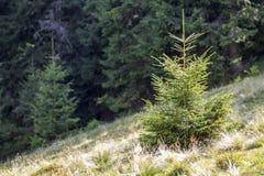 Λίγη πράσινη ανάπτυξη δέντρων πεύκων στο δάσος Στοκ εικόνες με δικαίωμα ελεύθερης χρήσης