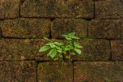 Λίγη πράσινη αύξηση δέντρων στον τοίχο φραγμών τούβλου Στοκ φωτογραφία με δικαίωμα ελεύθερης χρήσης