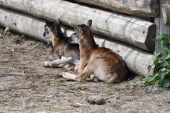 Λίγη συνεδρίαση αρνιών Mouflon στην κινηματογράφηση σε πρώτο πλάνο χλόης Στοκ φωτογραφίες με δικαίωμα ελεύθερης χρήσης