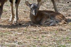Λίγη συνεδρίαση αρνιών Mouflon στην κινηματογράφηση σε πρώτο πλάνο χλόης Στοκ Εικόνες