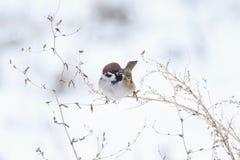 Λίγη συνεδρίαση πουλιών σε έναν κλάδο wormwood στο χιόνι Στοκ εικόνα με δικαίωμα ελεύθερης χρήσης
