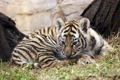 λίγη τίγρη Στοκ Εικόνες
