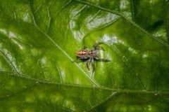 Λίγη τριχωτή αράχνη άλματος σε ένα φύλλο δέντρων Στοκ φωτογραφίες με δικαίωμα ελεύθερης χρήσης