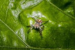 Λίγη τριχωτή αράχνη άλματος σε ένα φύλλο δέντρων Στοκ Φωτογραφίες