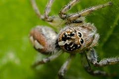 Λίγη τριχωτή αράχνη άλματος σε ένα φύλλο δέντρων Στοκ Εικόνες
