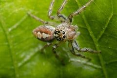 Λίγη τριχωτή αράχνη άλματος σε ένα φύλλο δέντρων Στοκ Εικόνα