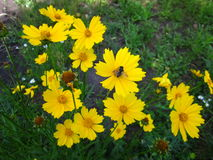 Λίγη φτερωτή μέλισσα & κίτρινο λουλούδι Στοκ Εικόνες