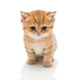 Λίγη φυλή Βρετανοί γατακιών Στοκ Εικόνα