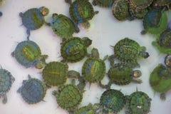 Λίγη χαριτωμένη πράσινη χελώνα στο κατάστημα κατοικίδιων ζώων Στοκ Φωτογραφίες
