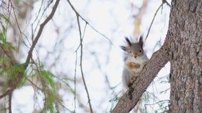 Λίγη χαριτωμένη συνεδρίαση σκιούρων σε έναν κλάδο πεύκων σε ένα φυσικό πάρκο απόθεμα βίντεο