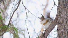 Λίγη χαριτωμένη συνεδρίαση σκιούρων σε έναν κλάδο πεύκων σε ένα φυσικό πάρκο φιλμ μικρού μήκους