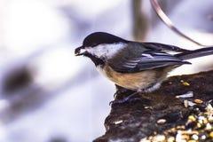 Λίγη χειμερινή προσπάθεια πουλιών στην αναζήτηση τροφίμων στοκ εικόνες