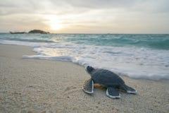 Λίγη χελώνα θάλασσας στην αμμώδη παραλία το πρωί Στοκ φωτογραφία με δικαίωμα ελεύθερης χρήσης