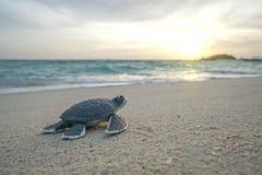 Λίγη χελώνα θάλασσας στην αμμώδη παραλία το πρωί Στοκ Φωτογραφίες
