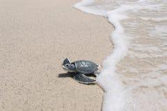 Λίγη χελώνα θάλασσας στην αμμώδη παραλία Στοκ εικόνα με δικαίωμα ελεύθερης χρήσης