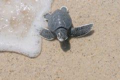 Λίγη χελώνα θάλασσας στην αμμώδη παραλία Στοκ Φωτογραφίες