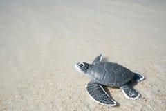 Λίγη χελώνα θάλασσας στην αμμώδη παραλία Στοκ Εικόνα