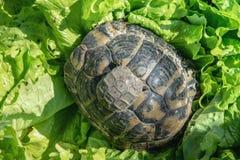 Λίγη χελώνα με το mom του στα πράσινα φύλλα Στοκ Εικόνες