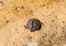 Λίγη χελώνα σε ένα κίτρινο υπόβαθρο πετρών Στοκ εικόνα με δικαίωμα ελεύθερης χρήσης