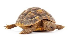 Λίγη χελώνα στο άσπρο υπόβαθρο Στοκ Εικόνες