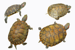 λίγη χελώνα Στοκ Φωτογραφίες