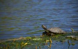 λίγη χελώνα Στοκ φωτογραφία με δικαίωμα ελεύθερης χρήσης