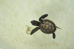 Λίγη χελώνα θάλασσας μωρών κολυμπά σε μια δεξαμενή συντήρησης χελωνών Στοκ φωτογραφία με δικαίωμα ελεύθερης χρήσης