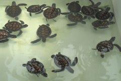 Λίγη χελώνα θάλασσας μωρών κολυμπά σε μια δεξαμενή συντήρησης χελωνών Στοκ Φωτογραφίες