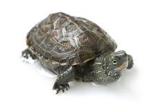 Λίγη χελώνα Στοκ Φωτογραφία