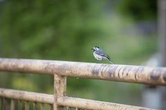 Λίγη όμορφη συνεδρίαση πουλιών στο φράκτη, τα ζώα και τη φύση Στοκ Φωτογραφία