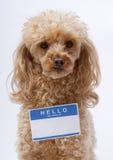 λίγη poodle ονόματος ετικέττα Στοκ Φωτογραφία